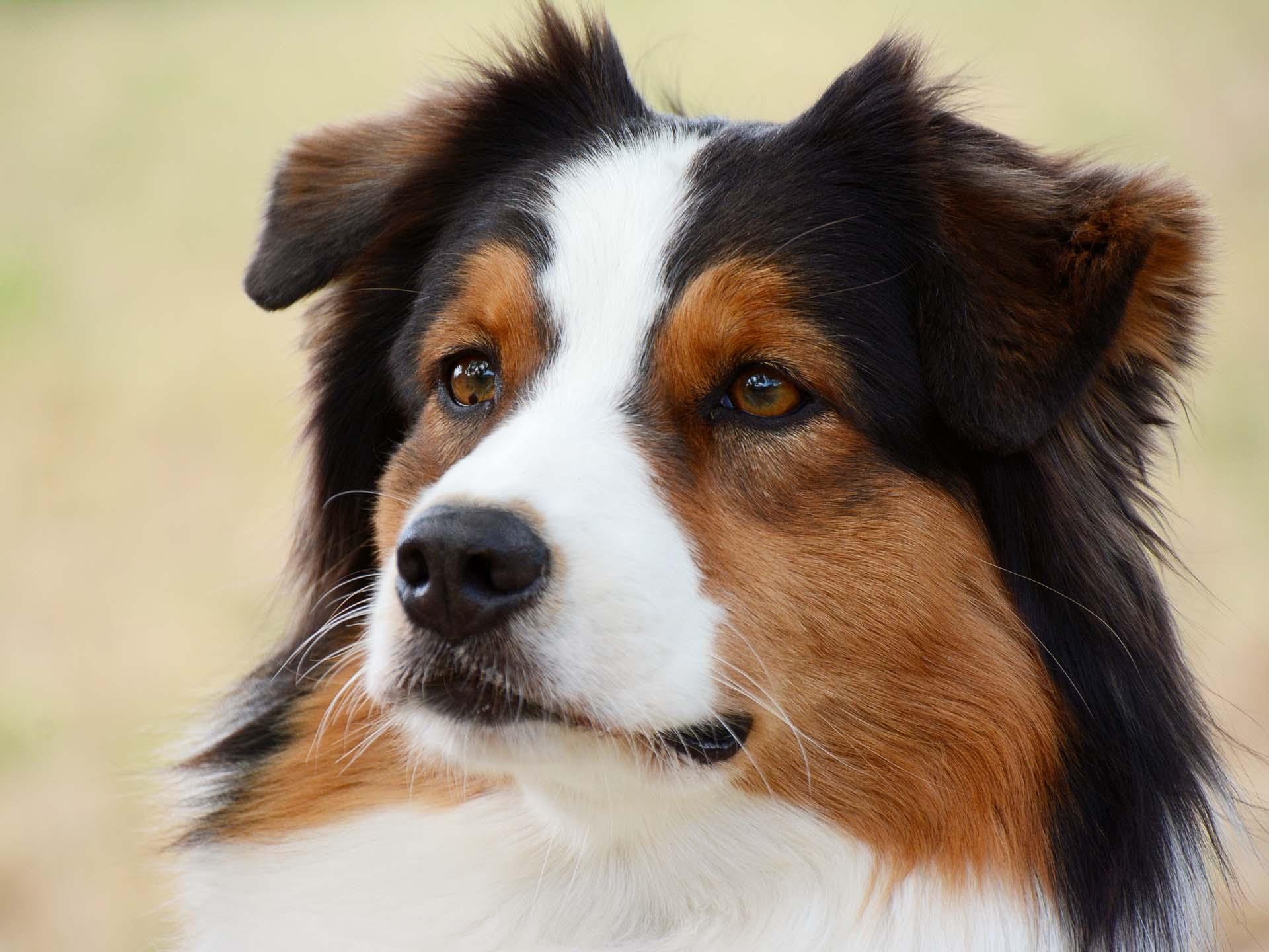 Therapiehund Smiley im Porträt